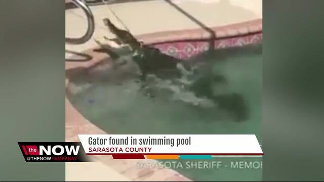 Alligator Chills Out In FL Pool