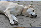 Preventing dog heat stroke