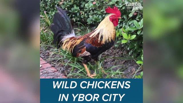 The wild chickens of Ybor City