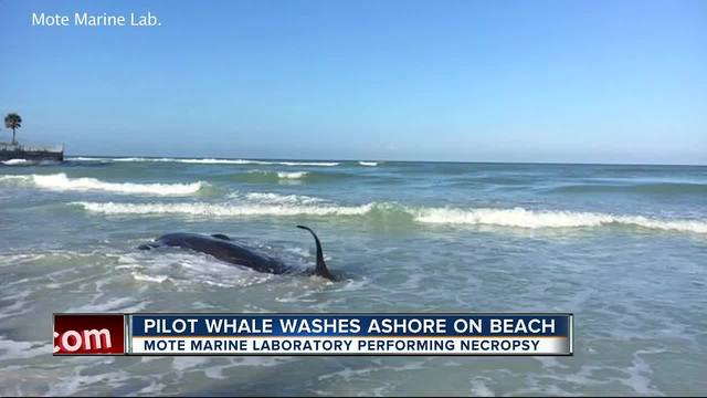 Dead whale found washed up on beach in Sarasota