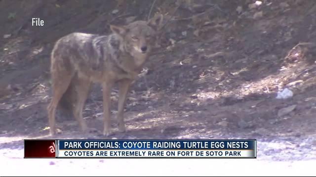 Coyote raiding sea turtle eggs nests