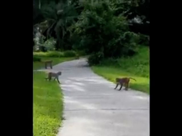 Wild monkeys confront Florida family