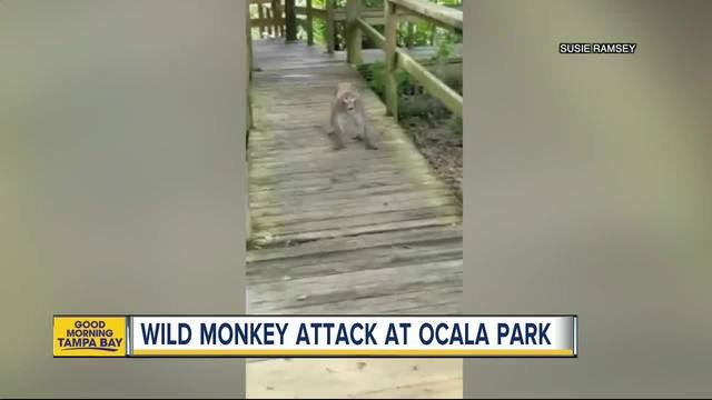 Menacing monkeys video shows animals charging family