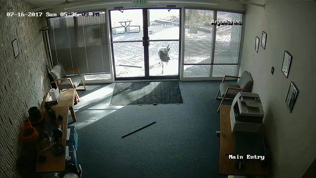 Headbutting goat smashes into Colorado office