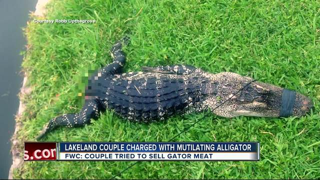 Lakeland couple accused of killing trapped alligator- trying to sell…