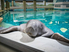 Snooty, world's oldest manatee, dead at 69