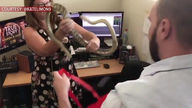 Massive Snake Found in Australian Newsroom