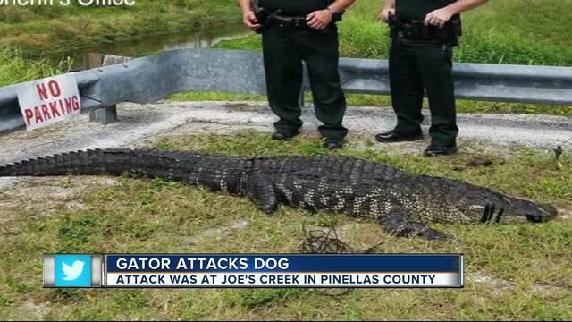 9 Foot Alligator Attacks Kills 75 Pound Dog In St Petersburg