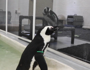 Penguins hoping to find love at Lowry Park Zoo