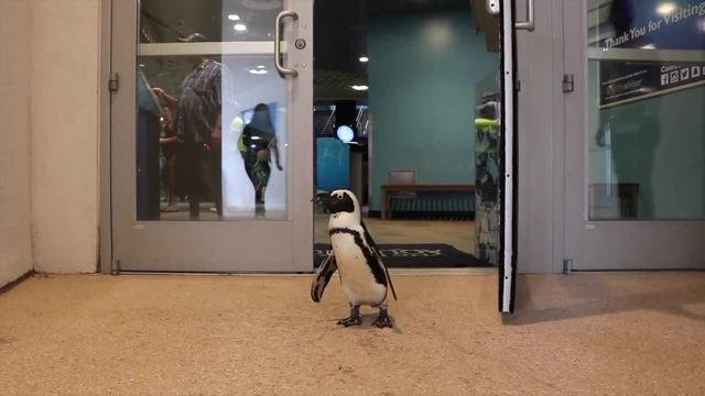 Florida Aquarium, Lowry Park Zoo trying to save endangered penguins by bringing them together