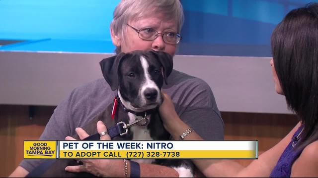 Pet of the week- 4-month-old Nitro is loving puppy searching for his…