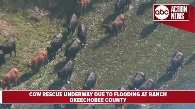 Cow rescue underway due to flooding at ranch in Okeechobee County