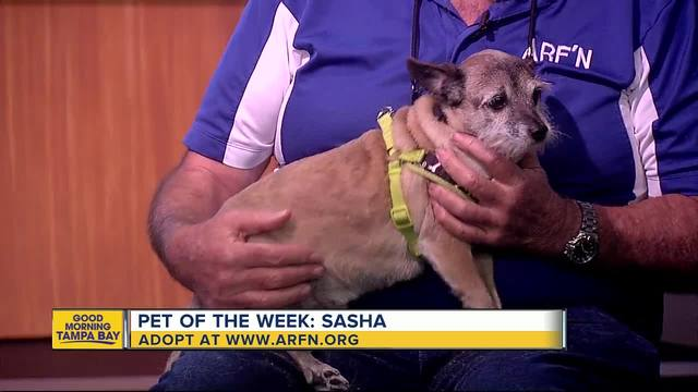 Pet of the week- Sasha is a sweet 5-year-old terrier mix who needs a home