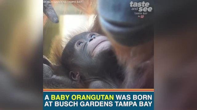 Baby orangutan at Busch Gardens