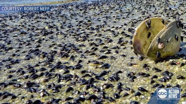 Snails Wash Up On Florida Beach