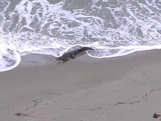 Crocodile interrupts beach day in South Florida