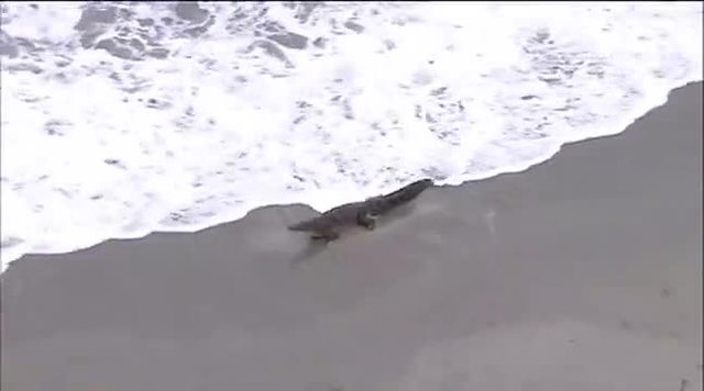 Crocodile captured off Florida beach
