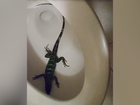 Florida woman finds large iguana in her toilet