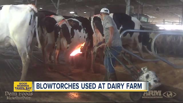 Disturbing video shows blowtorches used on cows at Florida dairy ...