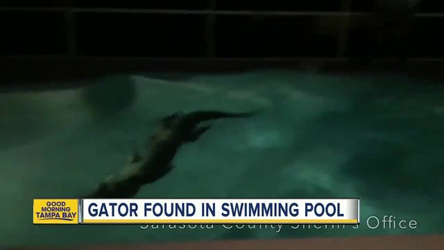 Alligator in Florida pool