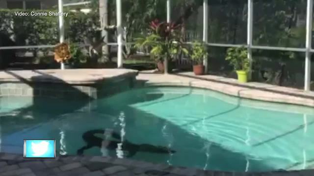 Florida Couple Finds 300 Pound Gator In Their Swimming Pool