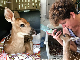 Real-life 'Bambi' saved after mom was hit by car