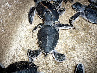 Record year for sea turtle nests in S. Fla.