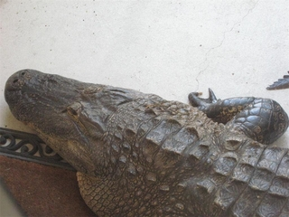 11-foot alligator