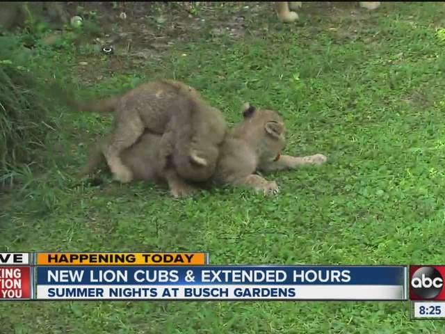 New At Busch Gardens Lion Cubs And Summer Nights Wfts Tv