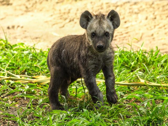 Baby Hyena Makes His Debut At Busch Gardens Wfts Tv