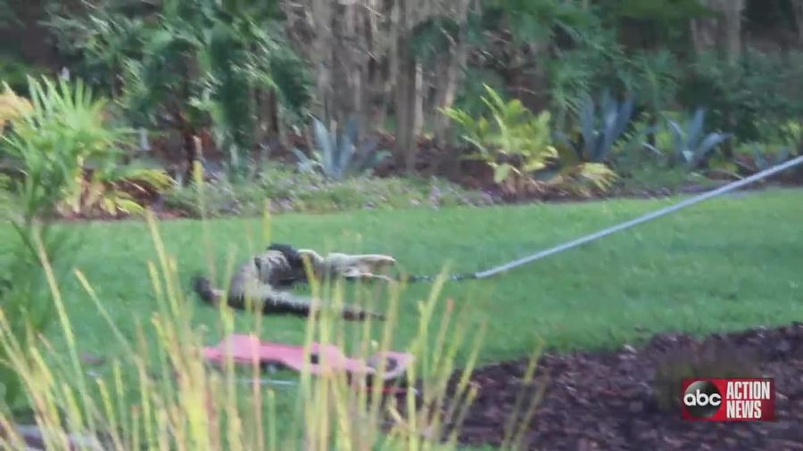 8 Foot Alligator Caught Hanging Out In Homeowners Yard In Bloomingdale Abcactionnews Com Wfts Tv