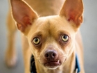 Pet of the week: Natsu is very sweet Chihuahua