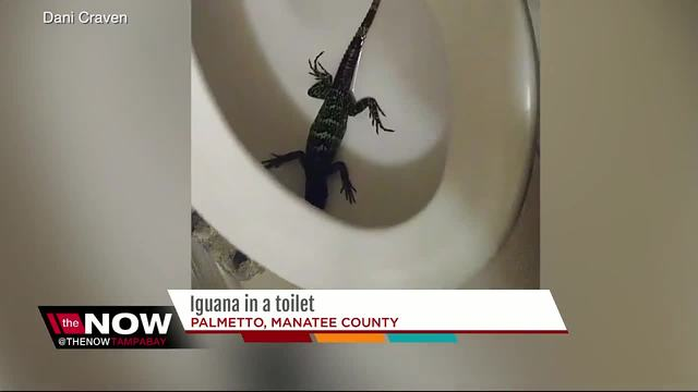 Florida woman finds iguana hiding in her toilet