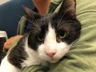 Pet of the week: Sylvester is sweet lap cat