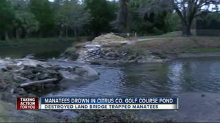 Mother and calf manatee drown at golf course
