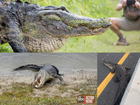 Gators in FL: Crazy photos, stories of 2017
