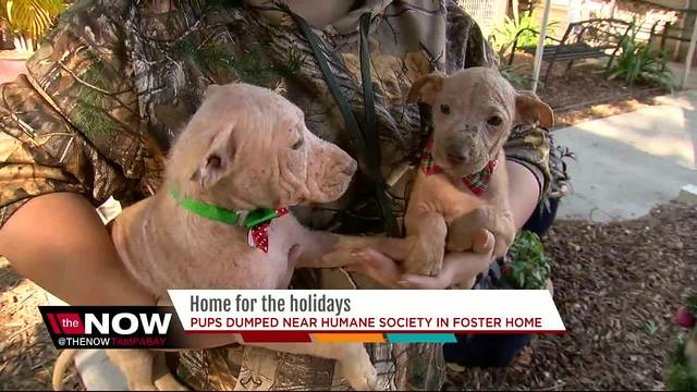 Puppies dumped on the side of the road near shelter now in foster home-…