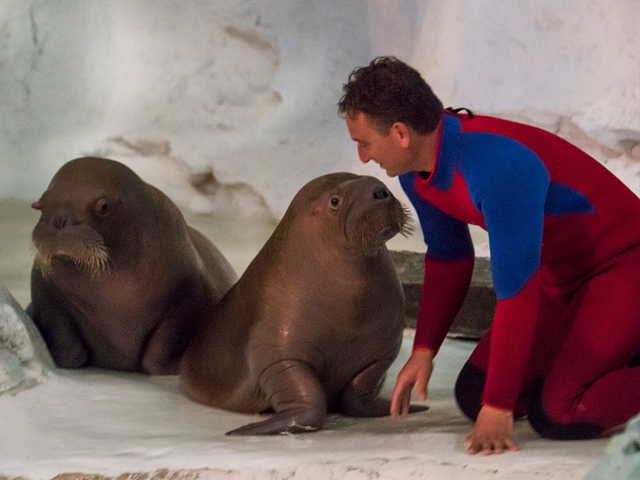 New walruses make debut at SeaWorld Orlando