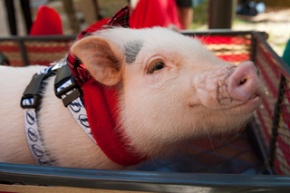 PHOTOS: Cute therapy pigs visit kids at TGH