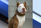 Police Department K9 officer is a pit bull