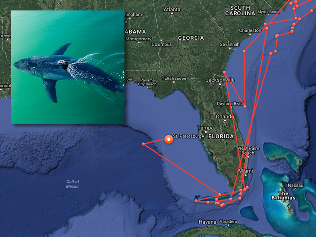 Great white shark pinged off coast of Tampa Bay