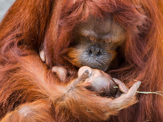 PHOTOS: Lowry Park Zoo welcomes baby orangutan