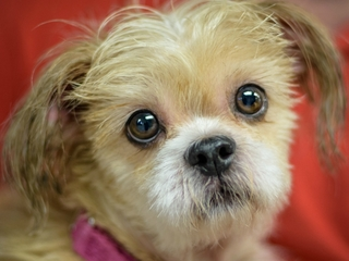 Pet of the week: Winston is a charming Shih Tzu