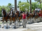 Budweiser Clydesdales appearing in bay area
