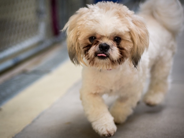 pet of the week benji is an adorable 2 year old shih tzu mix