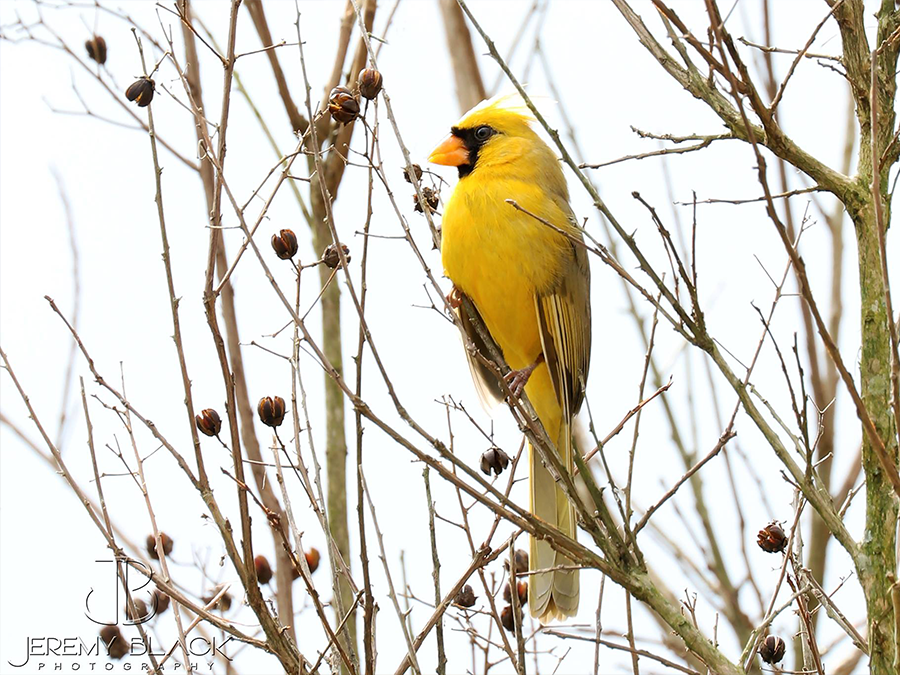'One in a million' yellow cardinal spotted by Alabama photographer