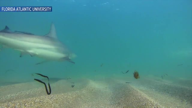 Blacktip shark annual migration off Florida's southeast coast caught on camera