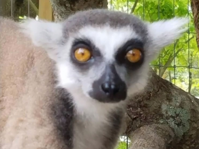 Monkeys and lemurs stolen from sanctuary after prankster claims it is closing