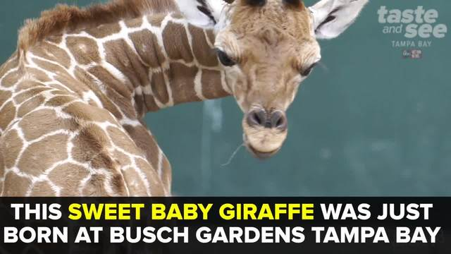 Baby giraffe born at Busch Gardens Tampa Bay - Taste and See Tampa Bay