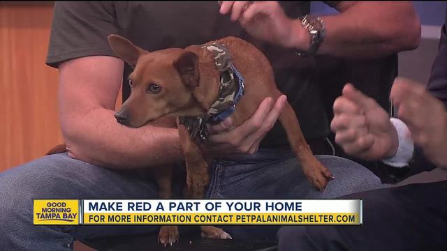 Pet of the week- Red is a shy 2-year-old Chihuahua mix who needs a loving home